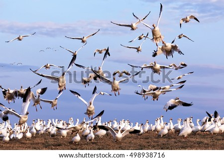 Thousands of migrating Snow Geese ( Chen caerulescens ) fly from a field in Lancaster County, Pennsylvania, USA.