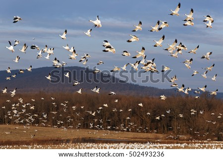 Thousands of migrating Snow Geese ( Chen caerulescens ) fly over after a layover in Lancaster County, Pennsylvania, USA.