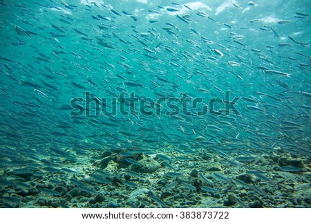 Thousands of silver fry fish swim in a shallow area of the Caribbean