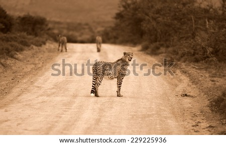Thre cheetah on a game reserve walk off while one turns around to look. - stock photo