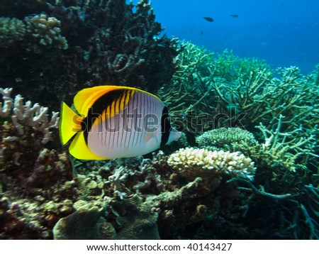Threadfin butterflyfish (Chaetodon auriga) and coral Great Barrier Reef Australia