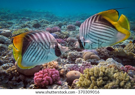 Threadfin butterflyfish (Chaetodon auriga) and coral reef, Red Sea, Egypt.