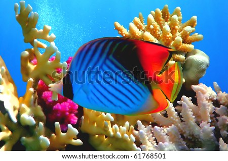 Threadfin butterflyfish (Chaetodon auriga) coral, Red Sea, Egypt - stock photo