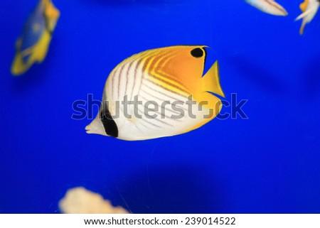 Threadfin butterflyfish (Chaetodon auriga) in Japan - stock photo