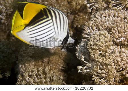 threadfin butterflyfish (chaetodon melapterus) - stock photo