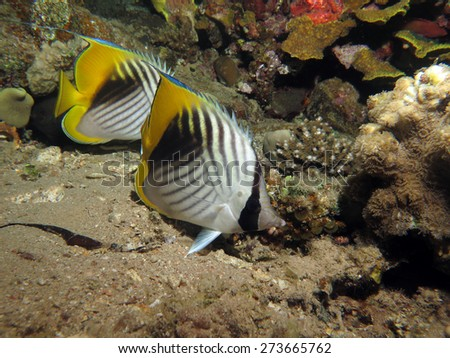 Threadfin butterflyfish couple at night - stock photo