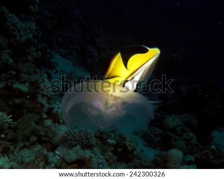 Threadfin butterflyfish feeding on a passing moon jellyfish, Dahab, Red Sea - stock photo