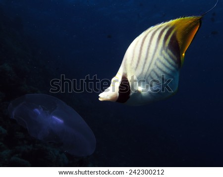 Threadfin butterflyfish feeding on a passing moon jellyfish, Egypt, Red Sea - stock photo