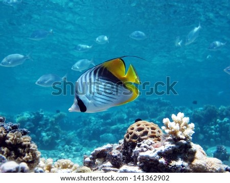 Threadfin Butterflyfish in coral reef - stock photo