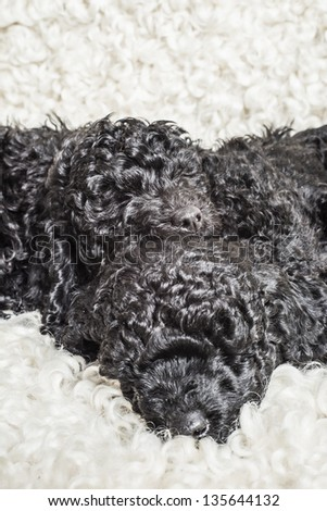Three adorable black poodle puppies resting together