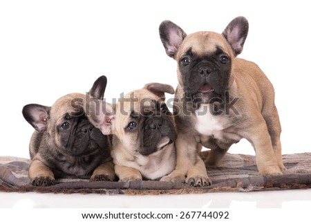 three adorable french bulldog puppies - stock photo
