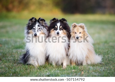 three adorable sheltie dogs sitting together outdoors