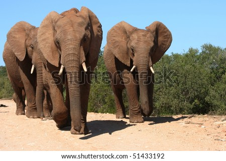 Three adult elephants mock charging the photographer in South Africa - stock photo