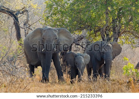 Three African Elephants, including mother and calf, stood in natural setting, Hluhluwe Game Reserve, South Africa - stock photo