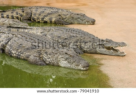 Three African nile crocodiles resting next to water - stock photo