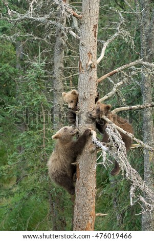 Three Alaskan brown bear cubs in a tree near Brooks Falls in Katmai National Park