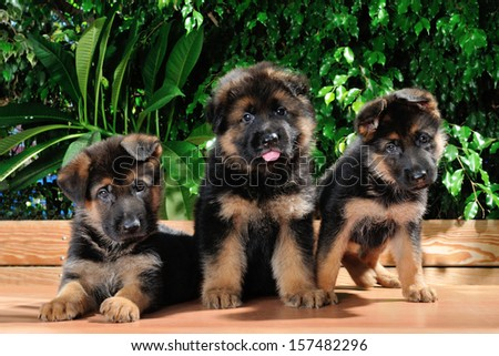 Three amazing German shepherd dog month old puppies, outdoor portrait