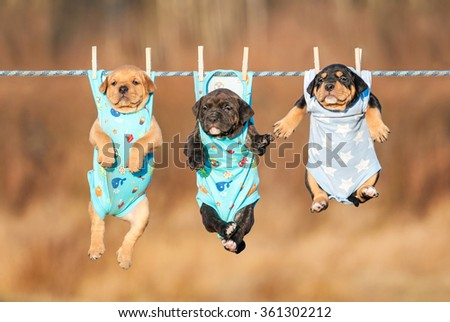 Three american staffordshire terrier puppies hanging on a clothesline  - stock photo