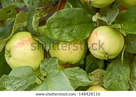 Three apples covered with water drops after the rain ripens on the tree - stock photo