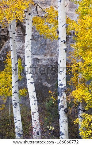 Three Aspen trees stand dressed in their autumn best with boulders in the background.  - stock photo