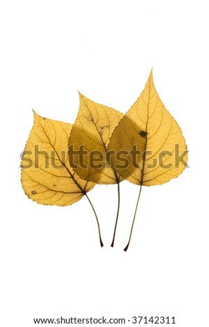 three autumn leaf on white background