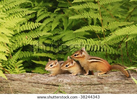 three baby chipmunks all in a row - stock photo