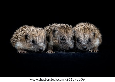 Three baby hedgehogs - stock photo
