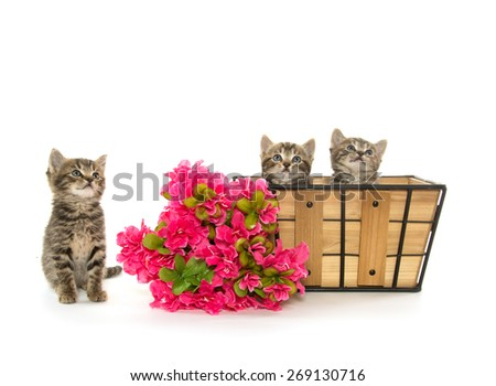 Three baby tabby kittens with a basket and red flowers isolated on white background