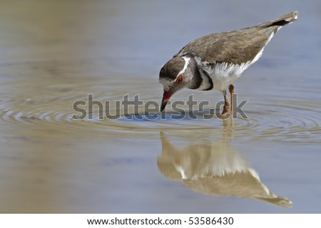 Three-banded plover wading in shallow water; Charadrius tricollaris - stock photo