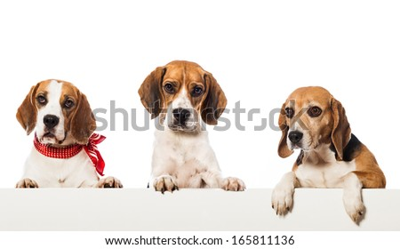 Three beagle dogs