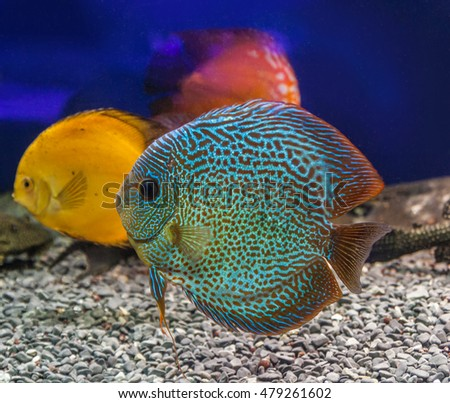 Three beautiful discus (Symphysodon discus) of different colors  is swimming   in the blue water.