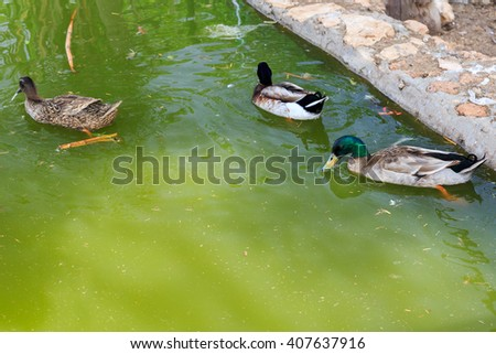 Three beautiful ducks floating in a pond - stock photo