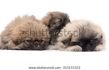 three beautiful fluffy little puppy on a white background