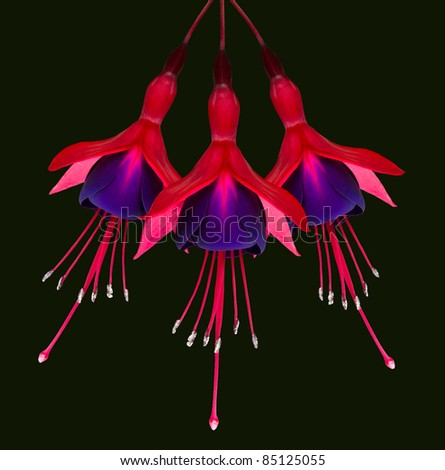 Three Beautiful Fuchsia Flowers Isolated on Black Background Hanging from the top - stock photo
