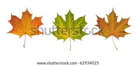 Three beautiful maple leaves isolated on white background - stock photo