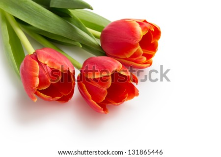 three beautiful tulips, isolated on white background - stock photo