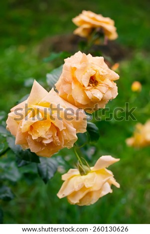 Three beautiful yellow tea roses in the garden after rain - stock photo