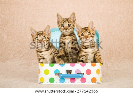 Three Bengal kittens sitting inside miniature polka dot luggage suitcase on beige background  - stock photo