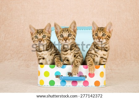 Three Bengal kittens sitting inside miniature polka dot luggage suitcase on beige background