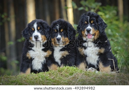 Three Bernese Mountain Dog puppies in forest