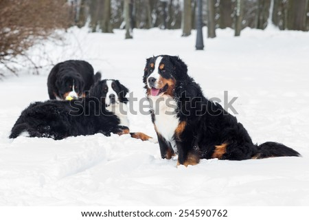 Three Bernese Mountain Dogs  in snow.  - stock photo