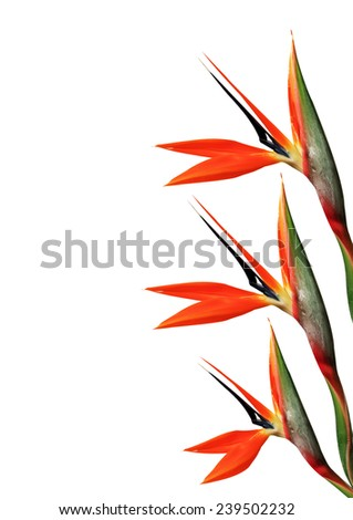 three bird of paradise flower on side of page on a white background - stock photo