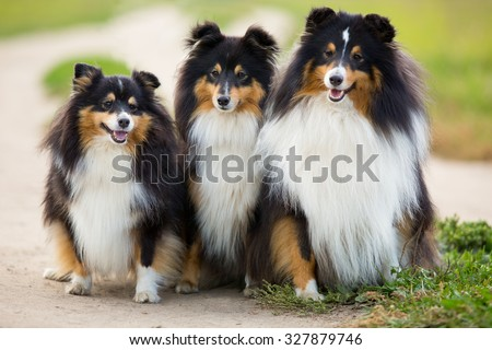 Three black Sheltie dog breed sitting in the background of green field - stock photo