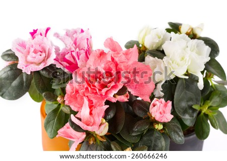 Three blossoming mini-azaleas of different color close up on a white background - stock photo