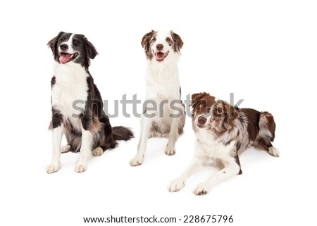 Three Border Collie Dogs, two are sitting while the other is laying. All are facing forwards.   - stock photo