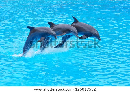 Three Bottlenose Dolphins, Tursiops truncatus, leaping in formation - stock photo