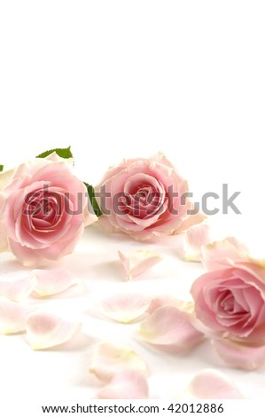 Three bright pink roses
