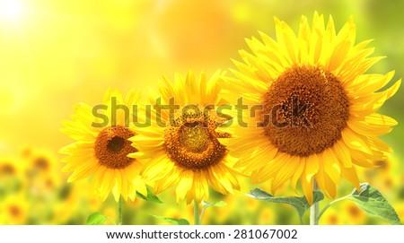 Three bright yellow sunflowers on sunny background - stock photo