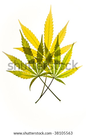Three brightly colored translucent marijuana leaves against a white background. - stock photo
