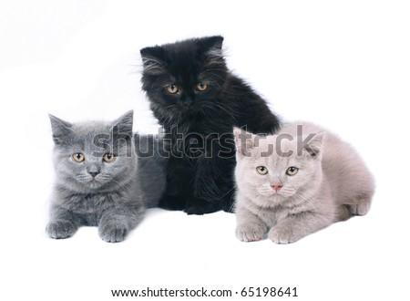 Three British kitten. - stock photo